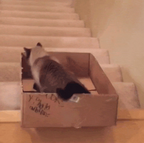 cat playing box